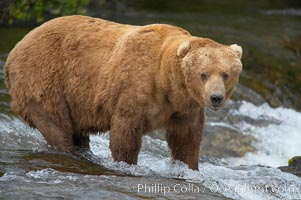 A large, old brown bear (grizzly bear) wades across Brooks River. Coastal and near-coastal brown bears in Alaska can live to 25 years of age, weigh up to 1400 lbs and stand over 9 feet tall. Brooks River, Katmai National Park, Alaska, USA, Ursus arctos, natural history stock photograph, photo id 17092