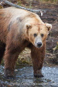 Brown bear (grizzly bear). Brooks River, Katmai National Park, Alaska, USA, Ursus arctos, natural history stock photograph, photo id 17093