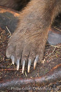 Brown bear paw and claws, Ursus arctos, Brooks River, Katmai National Park, Alaska