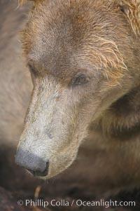 Brown bear muzzle, Ursus arctos, Brooks River, Katmai National Park, Alaska
