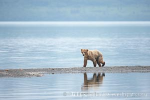 Brown bear walks along a sand spit, Brooks Lake, Ursus arctos, Brooks River, Katmai National Park, Alaska