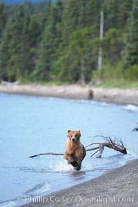 Brown bear along the edge of Brooks Lake, Ursus arctos, Brooks River, Katmai National Park, Alaska