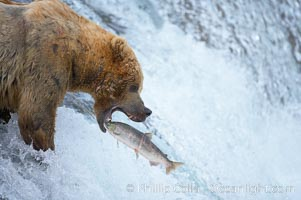Alaskan brown bear catching a jumping salmon, Brooks Falls. Brooks River, Katmai National Park, USA, Ursus arctos, natural history stock photograph, photo id 17031