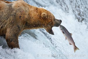 Alaskan brown bear catching a jumping salmon, Brooks Falls. Brooks River, Katmai National Park, Alaska, USA, Ursus arctos, natural history stock photograph, photo id 17032