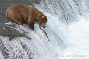 Alaskan brown bear catching a jumping salmon, Brooks Falls. Brooks River, Katmai National Park, Alaska, USA, Ursus arctos, natural history stock photograph, photo id 17033