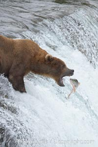 Image 17153, Alaskan brown bear catching a jumping salmon, Brooks Falls. Brooks River, Katmai National Park, Alaska, USA, Ursus arctos, Phillip Colla, all rights reserved worldwide. Keywords: alaska, alaskan brown bear, animal, animalia, arctos, bear, bear behavior, brooks falls, brooks river, brown bear, brown bear catching salmon, caniformia, carnivora, carnivore, chordata, coastal brown bear, environment, grizzly bear, jump, katmai, katmai national park, leap, mammal, national park, national parks, nature, outdoors, outside, river, salmon, spawn, ursidae, ursus, ursus arctos, ursus arctos horribilis, usa, vertebrata, vertebrate.