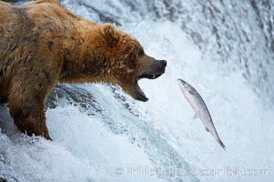 Image 17156, Alaskan brown bear catching a jumping salmon, Brooks Falls. Brooks River, Katmai National Park, USA, Ursus arctos, Phillip Colla, all rights reserved worldwide.   Keywords: alaska:alaskan brown bear:animal:animalia:arctos:bear:bear behavior:brooks falls:brooks river:brown bear:brown bear catching salmon:brown bears:caniformia:carnivora:carnivore:chordata:coastal brown bear:environment:grizzly bear:jump:katmai:katmai national park:leap:mammal:national park:national parks:nature:outdoors:outside:river:salmon:spawn:ursidae:ursus:ursus arctos:ursus arctos horribilis:usa:vertebrata:vertebrate.
