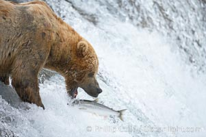 Alaskan brown bear catching a jumping salmon, Brooks Falls, Ursus arctos, Brooks River, Katmai National Park
