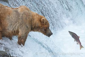 Alaskan brown bear watches a jumping salmon, Brooks Falls. Brooks River, Katmai National Park, USA, Ursus arctos, natural history stock photograph, photo id 17223