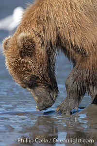 Image 19168, Coastal brown bear forages for razor clams in sand flats at extreme low tide.  Grizzly bear. Lake Clark National Park, Alaska, USA, Ursus arctos