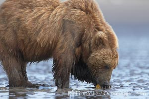 Image 19207, Coastal brown bear forages for razor clams in sand flats at extreme low tide.  Grizzly bear. Lake Clark National Park, Alaska, USA, Ursus arctos
