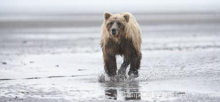 Coastal brown bear forages for razor clams on mud flats at extreme low tide, Ursus arctos, Lake Clark National Park, Alaska