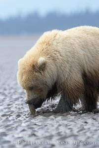 Juvenile female brown bear forages for razor clams in sand flats at extreme low tide.  Grizzly bear, Ursus arctos, Lake Clark National Park, Alaska