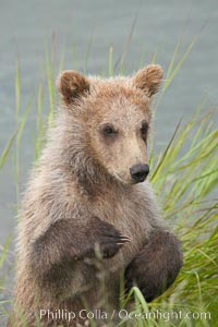 Brown bear spring cub, just a few months old. Brooks River, Katmai National Park, Alaska, USA, Ursus arctos, natural history stock photograph, photo id 17056