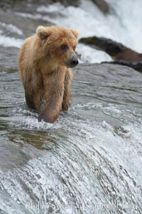 Brown bear cub wades across Brooks River, Ursus arctos, Katmai National Park, Alaska