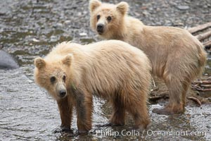 Brown bear spring cubs, a few months old, Ursus arctos, Brooks River, Katmai National Park, Alaska