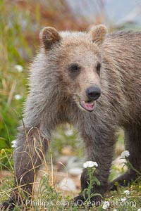 Brown bear cub, a few months old. Brooks River, Katmai National Park, Alaska, USA, Ursus arctos, natural history stock photograph, photo id 17213
