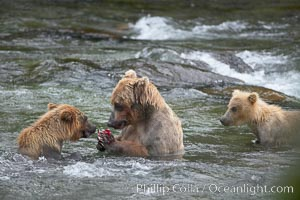 Brown bear mother feeds two of her three cubs a salmon she just caught in the Brooks River. Brooks River, Katmai National Park, Alaska, USA, Ursus arctos, natural history stock photograph, photo id 17267