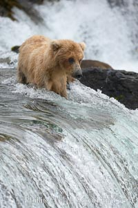 Brown bear cub wades across the Brooks River, Ursus arctos, Katmai National Park, Alaska