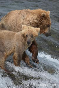 Brown bear cub, standing alongside its mother as she attempts to catch salmon atop Brooks Falls, keeps a lookout for large males that may try to kill it. Brooks Falls, Ursus arctos, Brooks River, Katmai National Park, Alaska