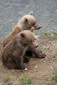 Brown bear spring cubs, just a few months old, Ursus arctos, Brooks River, Katmai National Park, Alaska