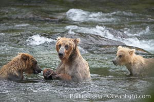 Brown bear mother feeds two of her three cubs a salmon she just caught in the Brooks River, Ursus arctos, Katmai National Park, Alaska