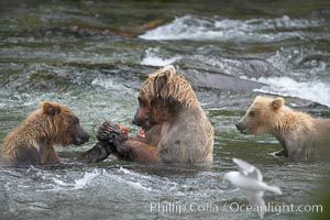 Brown bear mother feeds two of her three cubs a salmon she just caught in the Brooks River. Katmai National Park, Alaska, USA, Ursus arctos, natural history stock photograph, photo id 17340