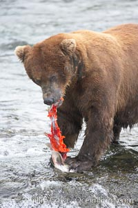 A brown bear eats a salmon it has caught in the Brooks River. Brooks River, Katmai National Park, Alaska, USA, Ursus arctos, natural history stock photograph, photo id 17049