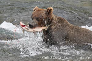 A brown bear eats a salmon it has caught in the Brooks River. Brooks River, Katmai National Park, Alaska, USA, Ursus arctos, natural history stock photograph, photo id 17099
