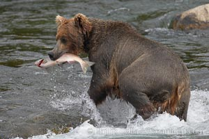 A brown bear eats a salmon it has caught in the Brooks River. Brooks River, Katmai National Park, Alaska, USA, Ursus arctos, natural history stock photograph, photo id 17205