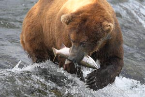 A brown bear eats a salmon it has caught in the Brooks River. Katmai National Park, Alaska, USA, Ursus arctos, natural history stock photograph, photo id 17292