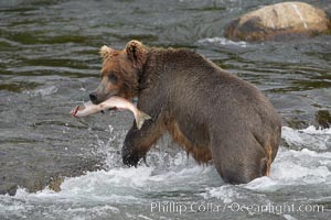 A brown bear eats a salmon it has caught in the Brooks River. Katmai National Park, Alaska, USA, Ursus arctos, natural history stock photograph, photo id 17320