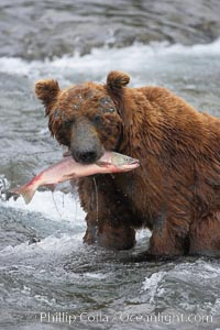A brown bear eats a salmon it has caught in the Brooks River. Brooks River, Katmai National Park, Alaska, USA, Ursus arctos, natural history stock photograph, photo id 17322