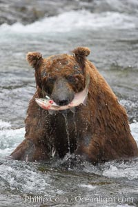 A brown bear eats a salmon it has caught in the Brooks River. Brooks River, Katmai National Park, Alaska, USA, Ursus arctos, natural history stock photograph, photo id 17324