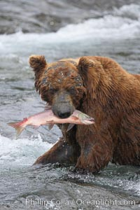 A brown bear eats a salmon it has caught in the Brooks River. Brooks River, Katmai National Park, Alaska, USA, Ursus arctos, natural history stock photograph, photo id 17346