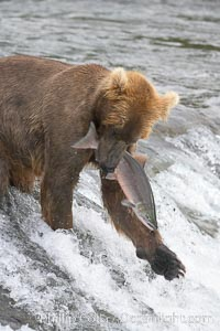 A brown bear eats a salmon it has caught in the Brooks River, Ursus arctos, Katmai National Park, Alaska