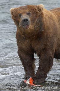 A brown bear eats a salmon it has caught in the Brooks River. Brooks River, Katmai National Park, Alaska, USA, Ursus arctos, natural history stock photograph, photo id 17354