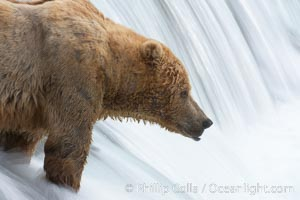 Brown bear waits for salmon at Brooks Falls. Blurring of the water is caused by a long shutter speed. Brooks River, Ursus arctos, Katmai National Park, Alaska