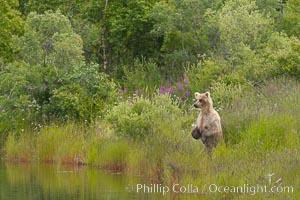 Brown bear walks through the marshes that skirt the Brooks River. Brooks River, Katmai National Park, Alaska, USA, Ursus arctos, natural history stock photograph, photo id 17062