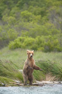 Brown bear walks through the marshes that skirt the Brooks River. Brooks River, Katmai National Park, Alaska, USA, Ursus arctos, natural history stock photograph, photo id 17065