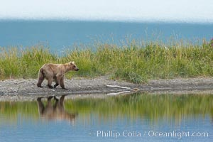 Brown bear is reflected in the Brooks River along the edge of Brooks Lake, Ursus arctos, Katmai National Park, Alaska
