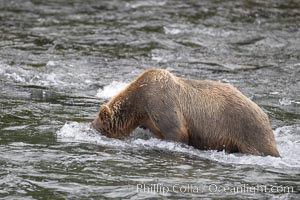 Brown bear (grizzly bear) snorkeling in the Brooks River, looking for salmon. Katmai National Park, Alaska, USA, Ursus arctos, natural history stock photograph, photo id 17072