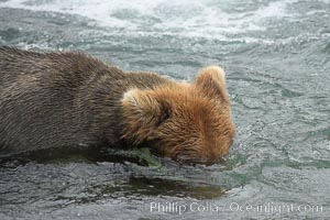 Brown bear (grizzly bear) snorkeling in the Brooks River, looking for salmon, Ursus arctos, Katmai National Park, Alaska