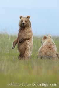 Brown bear cubs, one and a half years old. Lake Clark National Park, Alaska, USA, Ursus arctos, natural history stock photograph, photo id 19248