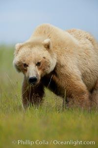 Brown bear female mother (sow) grazes on sedge grass near Johnson River, Ursus arctos, Lake Clark National Park, Alaska