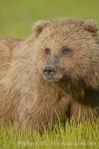 Portrait of a young brown bear, pausing while grazing in tall sedge grass.  Brown bears can consume 30 lbs of sedge grass daily, waiting weeks until spawning salmon fill the rivers. Lake Clark National Park, Alaska, USA, Ursus arctos, natural history stock photograph, photo id 19157