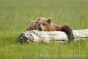 Lazy grizzly bear naps on a log, surrounding by the grass sedge grass that is typical of the coastal region of Lake Clark National Park, Ursus arctos