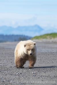 Juvenile female coastal brown bear walks on beach, Ursus arctos, Lake Clark National Park, Alaska