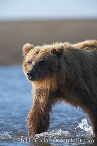 Coastal brown bear forages for salmon returning from the ocean to Silver Salmon Creek.  Grizzly bear. Lake Clark National Park, Alaska, USA, Ursus arctos, natural history stock photograph, photo id 19167