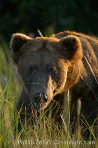 Mature male brown bear boat walks in tall sedge grass, Ursus arctos, Lake Clark National Park, Alaska